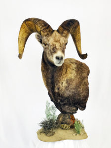 Dunbars Oregon Taxidermy Ram Head