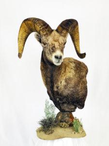 Dunbars Oregon Taxidermy Ram Head