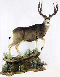 Full size mount by oregon taxidermist - dunbars taxidermy