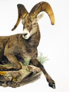 Oregon Taxidermist Head Shot - Dunbars taxidermy