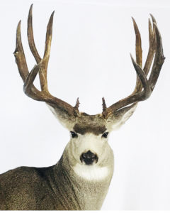Oregon Taxidermist Head Shot of Deer - Dunbars Taxidermy